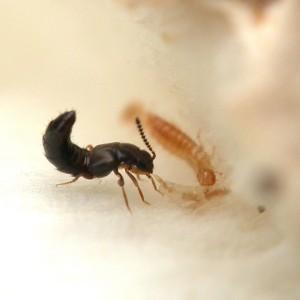 atheta_coriaria_-_rove_beetle_1